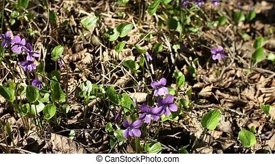 Forest violets spring primrose - violets spring primrose in...