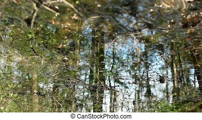 Meltwater impassable forest swamp in spring, reflected in...
