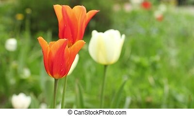 Netherlands Orange Tulips - Orange tulips national symbol of...