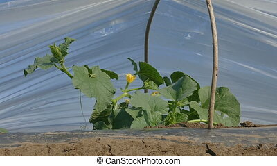 Blossoming melon plant under small protective plastic...
