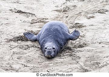 sea lions at the beach in San Simeon, California.
