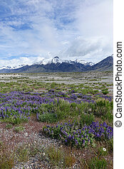 Wild Lupines and Mt McCaleb - Mackay, Idaho - A field of...
