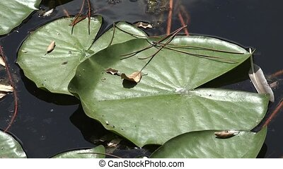 Lily Pad In Pond Water