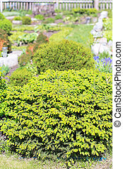 "Decorative dwarf tree larch ""Nidiformis"" ( lat. Picea abies..."