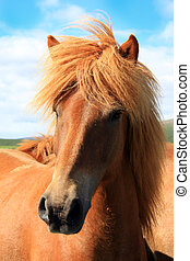 Icelandic horse outside in the pasture