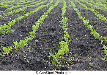 Field with shoots