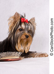 Yorkshire terrier with brush on white background