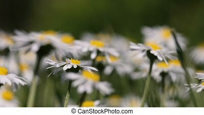 Small white daisy flowers in spring breeze