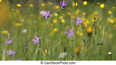 wild Campanula violet bell flower on meadow in spring breeze...