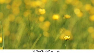 wild yellow Ranunculus flower on meadow in spring breeze