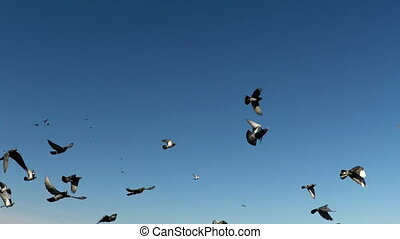 Flock of doves. A flock of birds against the sky. slow...