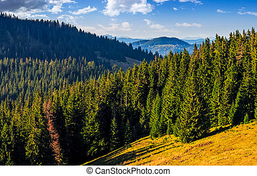 Conifer forest in classic Carpathian mountain valley...