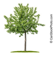 An isolated apple tree on a white background