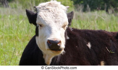 Cow Chewing on green grass - Chewing cows on a background of...