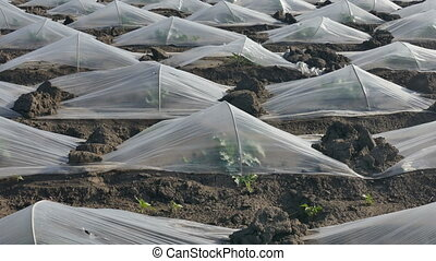 Watermelon and melon plants field - Field of watermelon and...