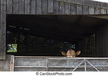 bullock - A young bull peers over a gate from his barn on a...