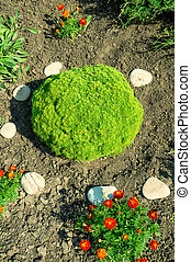 Green round shaped juniper plant - Close up top view of...