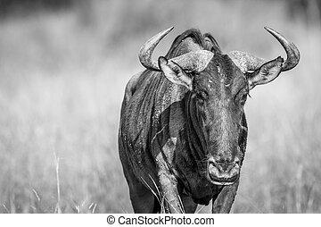 Blue wildebeest starring at the camera. - Blue wildebeest...