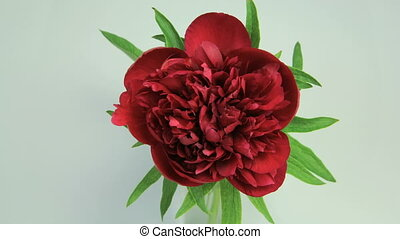 Flowering of Red Peony - Isolated Flower blooming timelapse