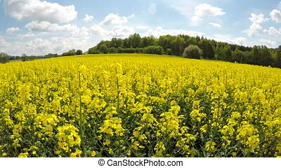 Moving over the rapeseed field. - Moving over the fields...