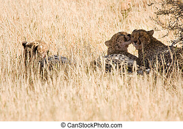 Cheetahs resting in the shadows after eating