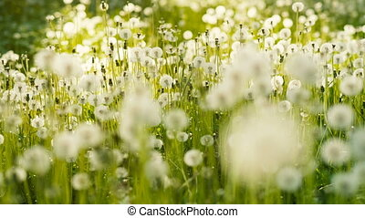 A lot of Dandelions - Field with a lot of white dandelions...