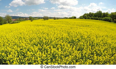 Moving the camera over rapeseed field. - Moving the camera...