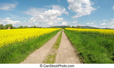 Walking on the road between two rapeseed fields.
