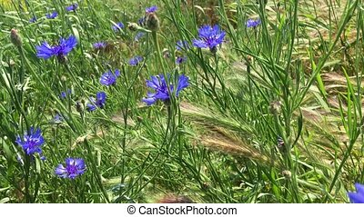 Blue wildflowers wiggle in the wind, spring day - Blue...