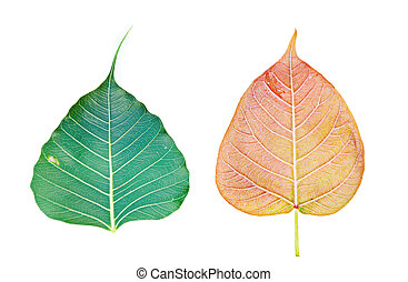 Bodh tree leaf on white background