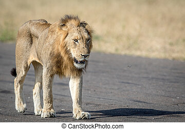 Young male Lion walking on the airstrip. - Young male Lion...