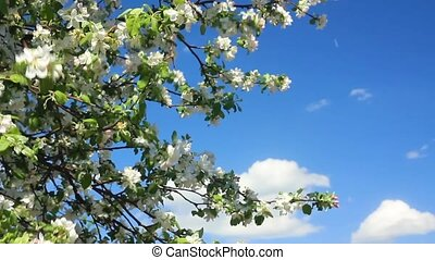 Flowering apple tree branches