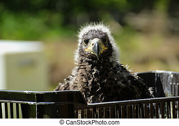 Face child eagle east - Littlle aegle. Baby, child bird....
