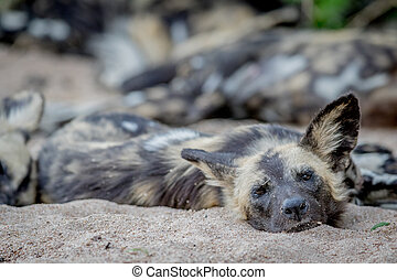 African wild dog laying and starring. - African wild dog...