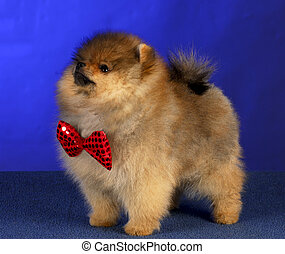 pomeranian puppy - adorable pomeranian puppy wearing red...