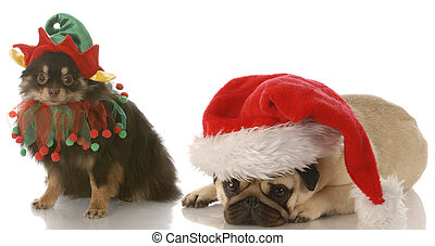 santa and rudolph dogs - pomeranian dressed up as santa elf...