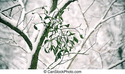 Mistletoe on tree branch outdoors in winter covered with...