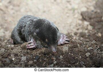 Mole, Talpa europea, with open eyes - Black mole crawling...