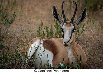 Springbok laying in the grass. - Springbok laying in the...