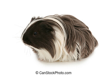 Young guinea pig isolated on white
