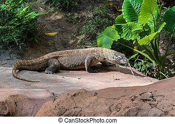 Komodo dragon standing on a rock with tongue out