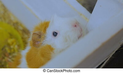 Guinea pigs near white wooden fence - Guinea pig near white...