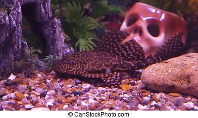 With catfish aquarium. Aquarium with predators.