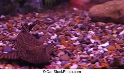 Ancistrus catfish in the aquarium. - Catfish in an aquarium...