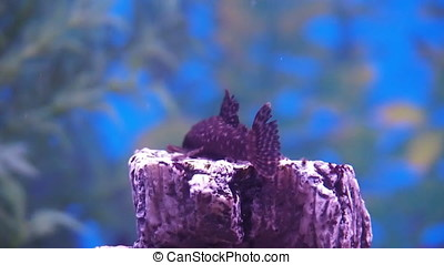 Freshwater aquarium. Catfish with cichlids.