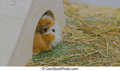 Guinea pig in zoo in white house - Guinea pig in cotact zoo...