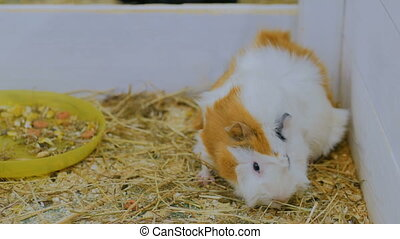 Guinea pig eating hay in zoo near white wooden fence