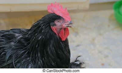 Close up shot of black domestic rooster in contact zoo