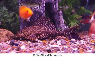 Catfish in an aquarium with cichlids. Aquarium with...