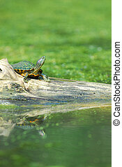 The Red-eared Slider - The red-eared slider is one of the...